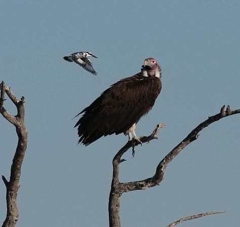 Vulture Botswana 2010