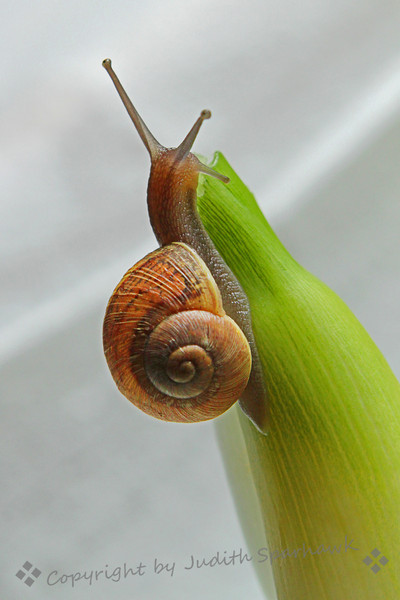 Climbing Snail ~ This baby snail's shell was only about 2/3 of an inch long, but he was very active and climbed around on the calla lilies he came in on.  I liked the colors of his shell and the positions he got himself into as he crawled about.
