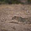 Stalking leopard