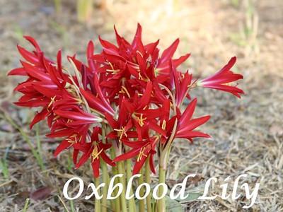 schoolhouse-lilies-make-an-appearance-when-school-reconvenes