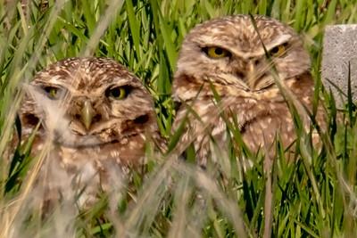 Burrowing Owls too