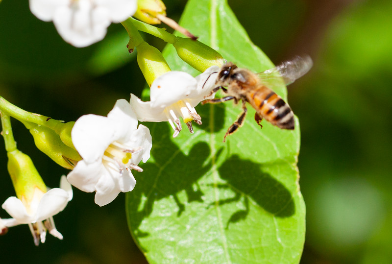 bahama strongbark + bee