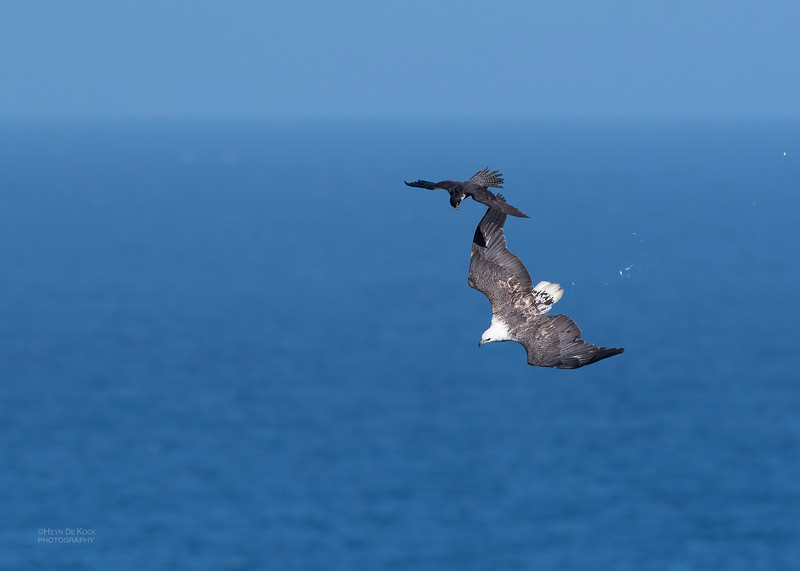 Peregrine Falcon & White-bellied Sea Eagle, Dee Why, Sydney, NSW, Oct 2018-1.jpg