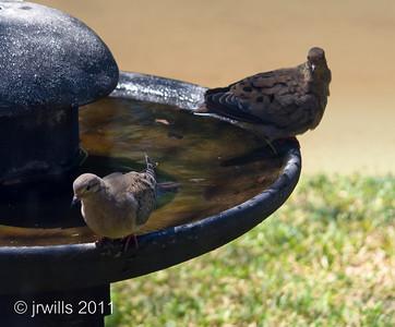 Doves in Birdbath