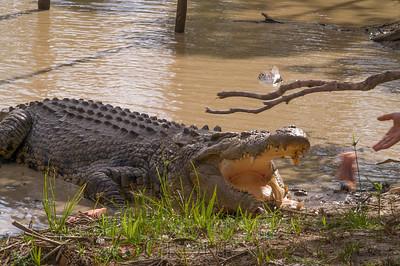 Alligators & Relatives (Crocodilia)