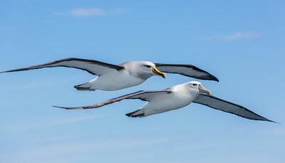 Albatross and Mollymawks