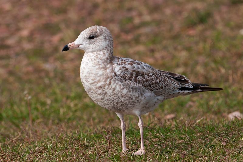 Gull - Ring-billed - juvenile - Grand Marais, MN