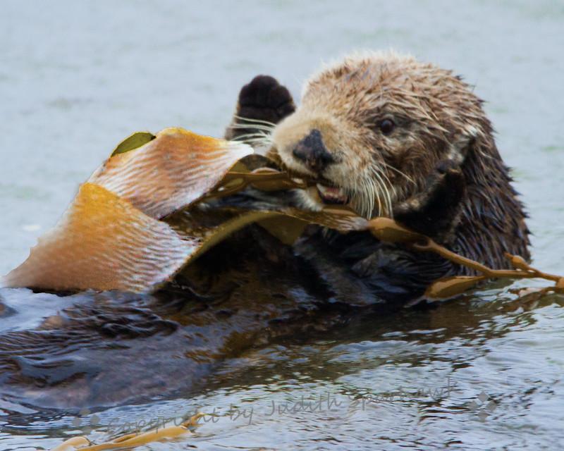 Munching on Kelp