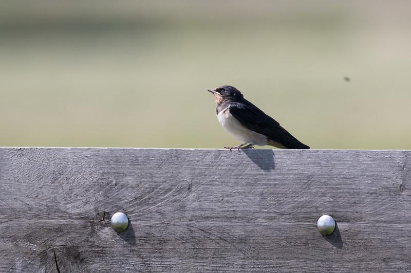 boerenzwaluw, barn swallow
