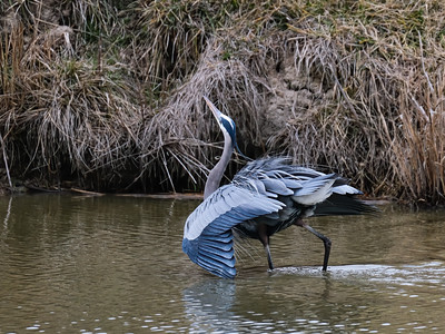 Great Blue Heron, 28 January 2020