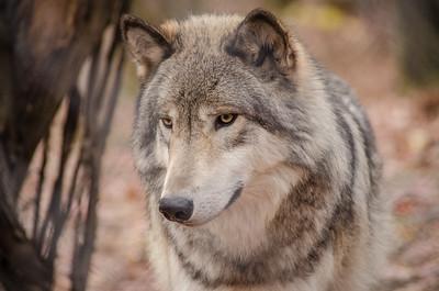 Lakota Wolf Preserve/Columbia/NJ - Nov., 2014