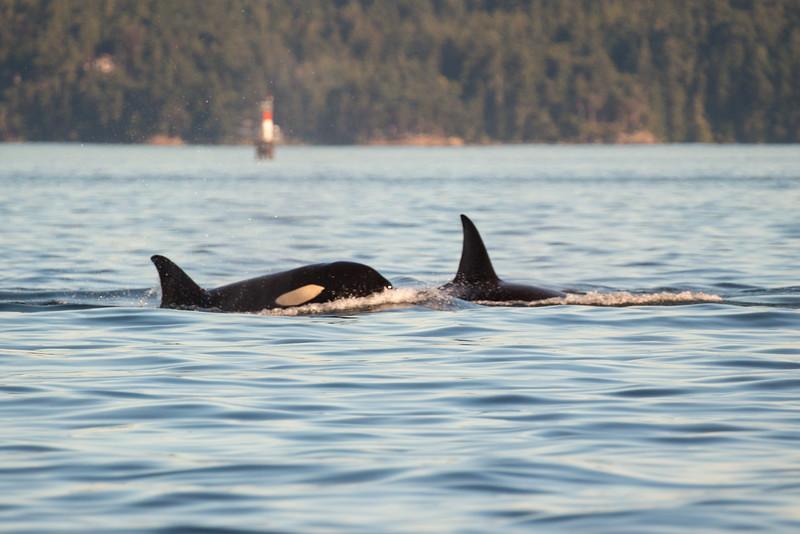 Orcas -  073115-554.jpg