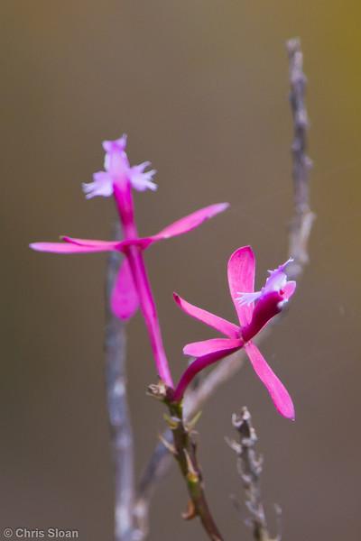 Orchid at Abra Patricia, Amazonas, Peru (07-01-2010)-13