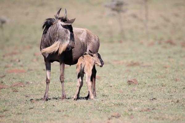 Wildebeest Mara Kenya 2018
