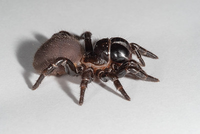 Mouse Spiders