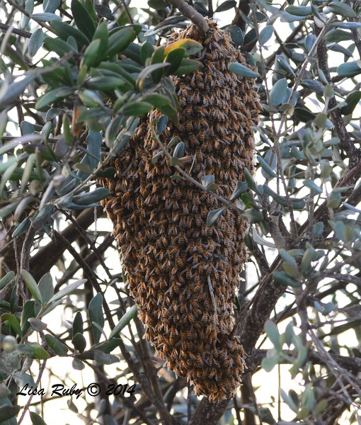 Bee swarm  - 12/19/2014 - Robb Field