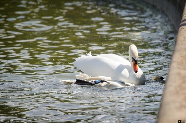 Swan Fight / Svanekamp