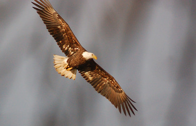 Eagles and wildlife
