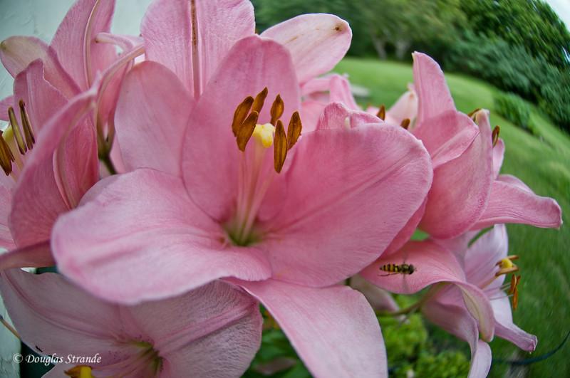 2011   Lilies & Bee