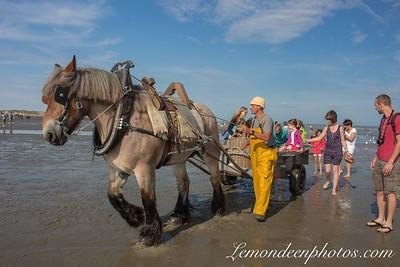 La pêche aux crevettes à cheval à Oostduinkerke
