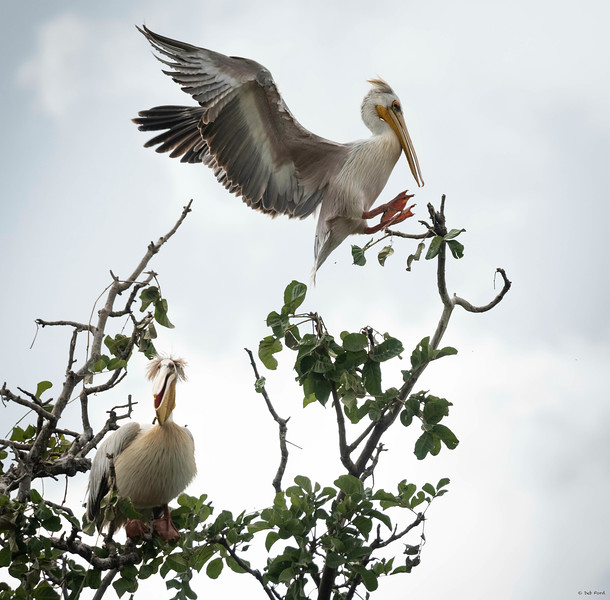 Pink-backed Pelicans (such jokers!)