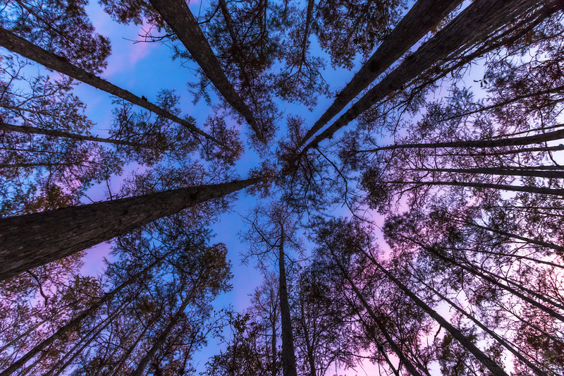 Looking up during sunset inside a cypress dome swamp