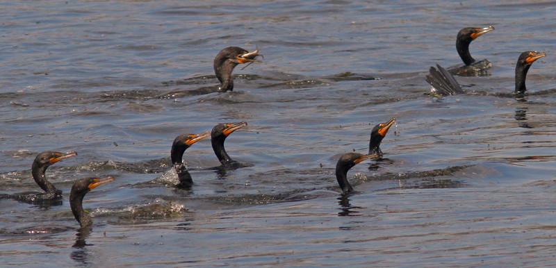 WB~CormorantsfishingbluewaterA1600.jpg