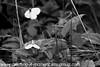 Cryptic Wood White - Leptidea juvernica (9)