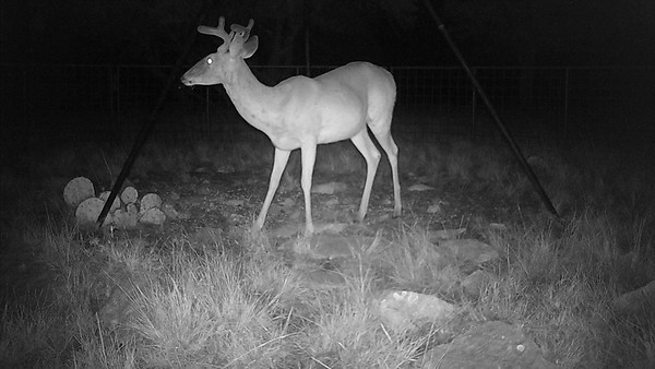 Cull Whitetail