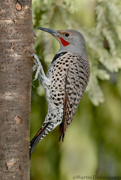 Northern Red Shafted Flicker male can be a nuisance by drumming on the roof tops.