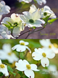 Looking back  {Picture Spring - Day 15: Find a shot from last spring to celebrate how your creativity has blossomed over the year and capture an image that compliments the archived photo. }  I took hundreds of pictures last Spring but nearly all were sports themed.  I had to look back to 2008 for a Spring photo.  So I took another photo of the same dogwood tree.