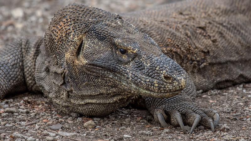 Komodo Dragons-2222.jpg