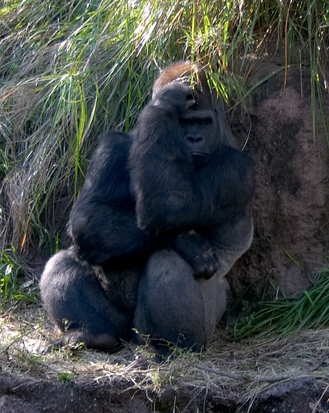 After a fight with a few of the other gorillas, Big Pete becomes pensive. Why does she make me hit her? She just doesn't listen.