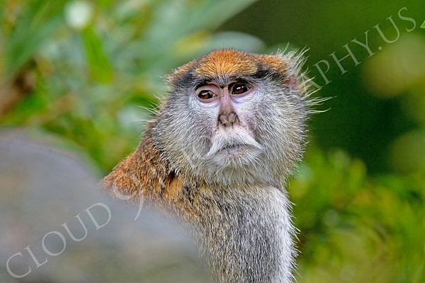 Patas Monkey Wildlife Photography