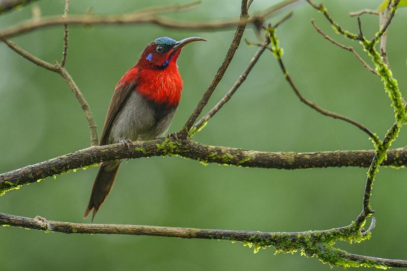 Vigors-sunbird-2.jpg