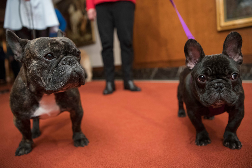 . French bulldogs Louis, 3, left and Pua, 5-months pose for photographers during a news conference at the American Kennel Club headquarter, Wednesday, March 28, 2018, in New York. American Kennel Club rankings released in 2018 show French bulldogs are the fourth most popular purebred dog. (AP Photo/Mary Altaffer)