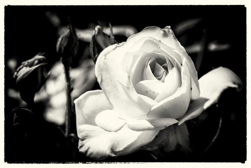 White Rose B&W2-1.jpg