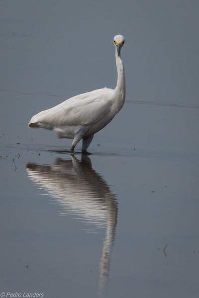 Juvenile Snowy Egret 01