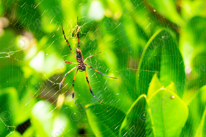 The Palm spider Seychelles.jpg