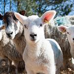 Lambing Sunday 2016