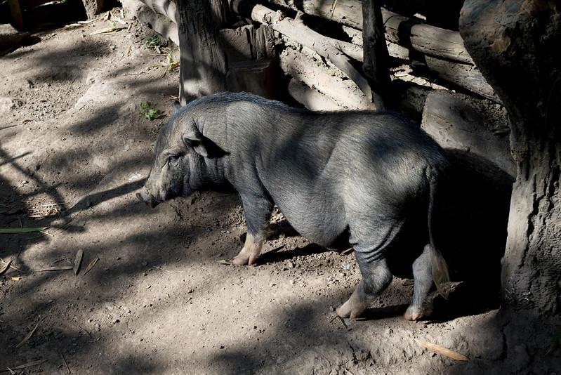 Elevated view of pig on a farm, Ban Gnoyhai, Luang Prabang, Laos