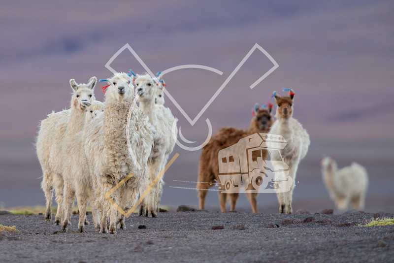 curious herd of alpacas in the bolivian altiplano