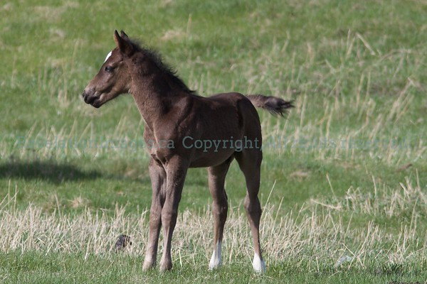 Stoney Nation Foals