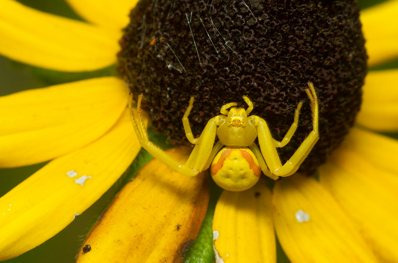 Goldenrod crab spider, Misumena vatia, from Wisconsin.