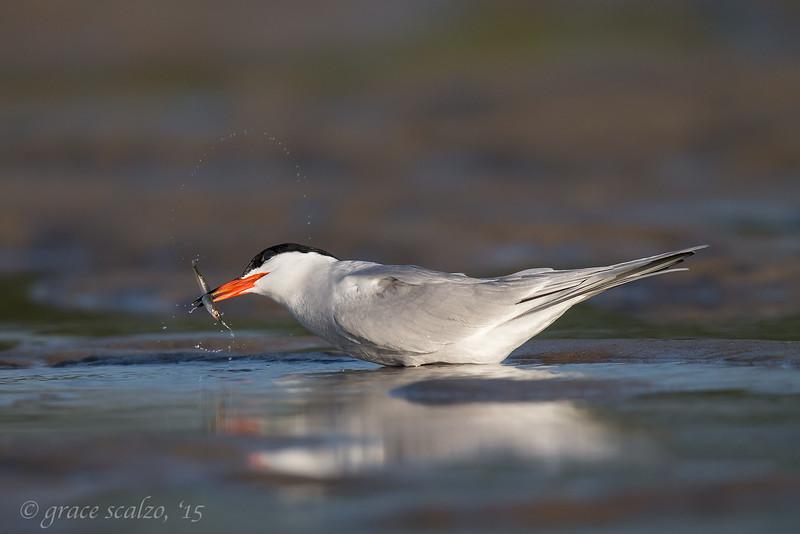 Common Tern Adut flinging Sand Eel