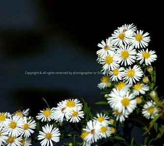 023-daisies_by_lake-dsm-30sept06-c2-4420