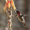 Male Anna's hummingbird feeding at a Aloe flower