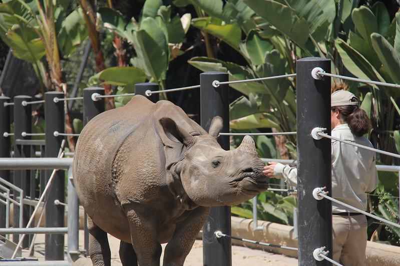 20170807-059 - San Diego Zoo - Rhinoceros.JPG