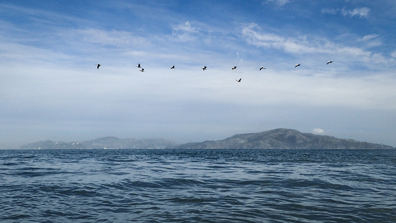 Pelicans over Angel Island.