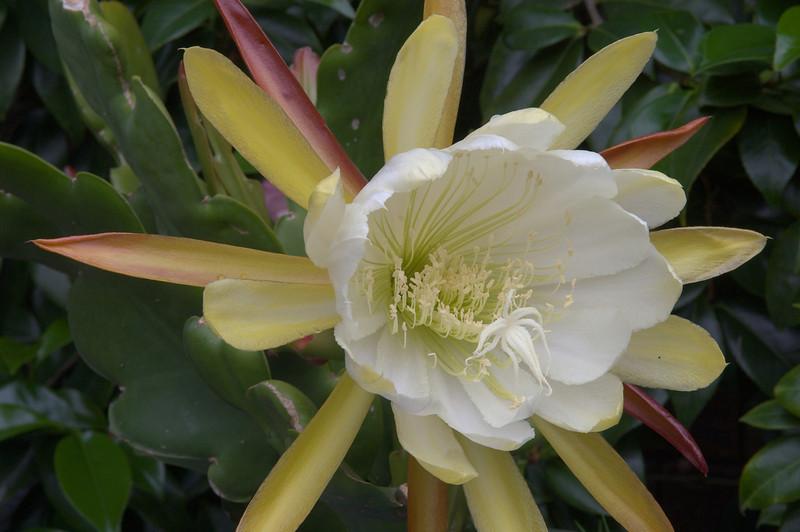 20071122_1066 epiphyllum